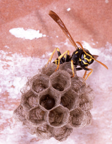 Hymenoptera Vespidae Polistes sp. nest and imago